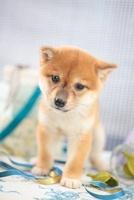 柴犬 21028013542| 写真素材・ストックフォト・画像・イラスト素材|アマナイメージズ