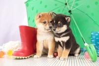 柴犬と傘と長靴