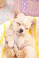かごの中で眠るチワワ