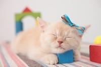 積み木に顔を乗せて眠るブリティッシュショートヘア