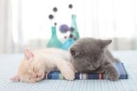 眠るブリティッシュショートヘアと花瓶