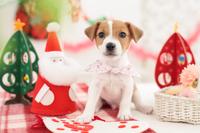 ジャックラッセルテリアとクリスマスグッズ
