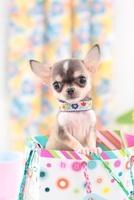 プレゼントの袋に入るチワワとクラッカーの紐 21028015408| 写真素材・ストックフォト・画像・イラスト素材|アマナイメージズ