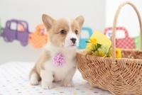 コーギーと籠に入った花 21028015522| 写真素材・ストックフォト・画像・イラスト素材|アマナイメージズ