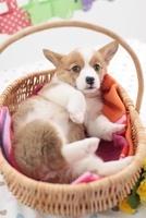 籠で寝転ぶコーギー 21028015803| 写真素材・ストックフォト・画像・イラスト素材|アマナイメージズ