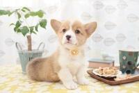 コーギーとクッキーとカップ 21028015826| 写真素材・ストックフォト・画像・イラスト素材|アマナイメージズ