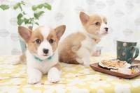 コーギーとクッキーとカップ 21028015827| 写真素材・ストックフォト・画像・イラスト素材|アマナイメージズ