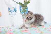 スコティッシュフォールドとグラスに入った花