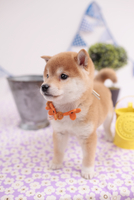 柴犬 21028016512| 写真素材・ストックフォト・画像・イラスト素材|アマナイメージズ