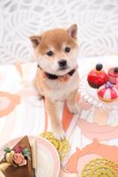 柴犬 21028016526| 写真素材・ストックフォト・画像・イラスト素材|アマナイメージズ