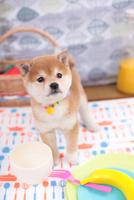 柴犬 21028016543| 写真素材・ストックフォト・画像・イラスト素材|アマナイメージズ