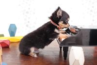ピアノで遊ぶチワワ