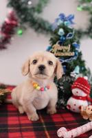 ミニチュアダックスフントのクリスマスイメージ
