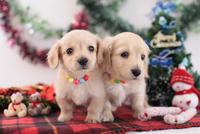 2匹のミニチュアダックスフント クリスマスイメージ
