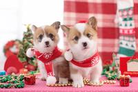 2匹のコーギー クリスマスイメージ 21028016695| 写真素材・ストックフォト・画像・イラスト素材|アマナイメージズ