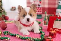 コーギーのクリスマスイメージ 21028016696| 写真素材・ストックフォト・画像・イラスト素材|アマナイメージズ