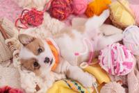 寝そべるコーギー 21028016706| 写真素材・ストックフォト・画像・イラスト素材|アマナイメージズ