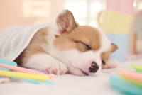おやすみ中のコーギー 21028016748| 写真素材・ストックフォト・画像・イラスト素材|アマナイメージズ