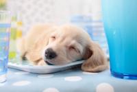 眠るミニチュアダックスフント
