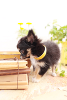 チワワ 21028016970| 写真素材・ストックフォト・画像・イラスト素材|アマナイメージズ
