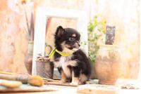 チワワ 21028017051| 写真素材・ストックフォト・画像・イラスト素材|アマナイメージズ