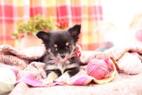 毛糸だまで遊ぶチワワ 21028017090| 写真素材・ストックフォト・画像・イラスト素材|アマナイメージズ