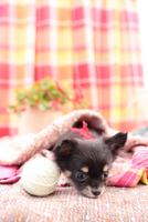 毛糸だまで遊ぶチワワ 21028017093| 写真素材・ストックフォト・画像・イラスト素材|アマナイメージズ
