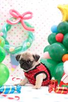 パグ クリスマスイメージ 21028017316| 写真素材・ストックフォト・画像・イラスト素材|アマナイメージズ