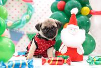 パグ クリスマスイメージ 21028017317| 写真素材・ストックフォト・画像・イラスト素材|アマナイメージズ