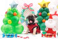 あくびをするパグ クリスマスイメージ 21028017320| 写真素材・ストックフォト・画像・イラスト素材|アマナイメージズ