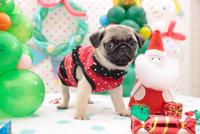 パグ クリスマスイメージ 21028017321| 写真素材・ストックフォト・画像・イラスト素材|アマナイメージズ