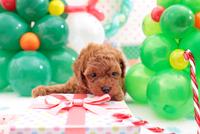 プレゼントボックスの上にのるトイプードル クリスマスイメージ