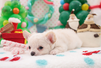 チワワ クリスマスイメージ