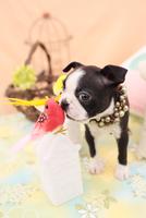 鳥のおもちゃにキスするボストンテリア