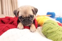 編み物から顔を出すパグ