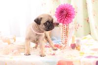 ピンクの花とパグ