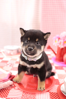 1匹の柴犬 21028017767| 写真素材・ストックフォト・画像・イラスト素材|アマナイメージズ