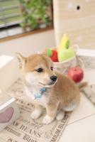 1匹の柴犬 21028017768| 写真素材・ストックフォト・画像・イラスト素材|アマナイメージズ