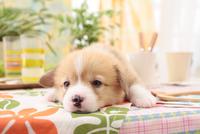 寝そべっているウェルシュ・コーギー・ペンブローク 21028017917| 写真素材・ストックフォト・画像・イラスト素材|アマナイメージズ