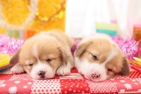 寝ている2匹のウェルシュ・コーギー・ペンブローク