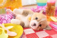 寝ころんでいるウェルシュ・コーギー・ペンブローク 21028018011| 写真素材・ストックフォト・画像・イラスト素材|アマナイメージズ