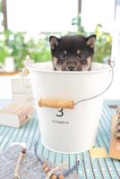1匹の柴犬 21028020802| 写真素材・ストックフォト・画像・イラスト素材|アマナイメージズ