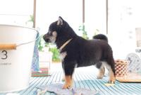 1匹の柴犬