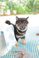 1匹の柴犬 21028020811| 写真素材・ストックフォト・画像・イラスト素材|アマナイメージズ