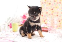 1匹の柴犬 21028020837| 写真素材・ストックフォト・画像・イラスト素材|アマナイメージズ