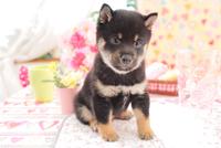 1匹の柴犬 21028020840| 写真素材・ストックフォト・画像・イラスト素材|アマナイメージズ
