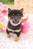 1匹の柴犬 21028020847| 写真素材・ストックフォト・画像・イラスト素材|アマナイメージズ