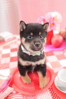1匹の柴犬 21028020870| 写真素材・ストックフォト・画像・イラスト素材|アマナイメージズ