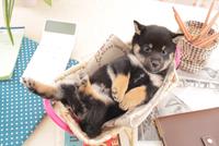 1匹の柴犬 21028020893| 写真素材・ストックフォト・画像・イラスト素材|アマナイメージズ