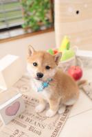 1匹の柴犬 21028020945| 写真素材・ストックフォト・画像・イラスト素材|アマナイメージズ